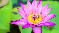 Insects On A Light Pink Lotus Flower