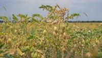 Ripening Chickpeas on the Field
