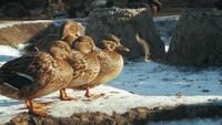 Gadwall Grey Ducks