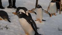 Pinguïns die zich op sneeuw bevinden