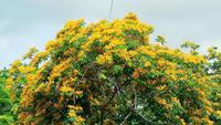 Arbre de Padouk de Birmanie en fleurs