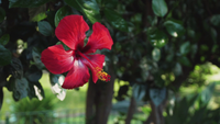 Vacker röd blomma panorering skott