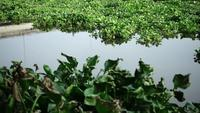 Water Hyacinth Eichhornia Crassipes on a River
