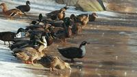 Les canards se tiennent dans la neige