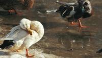 Patos bañándose en un estanque congelado