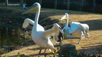 Tiervogelpelikane in der Natur nahe dem Wasser