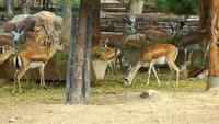 Animal Deers Feeding