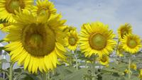 Blooming sunflowers under sunlight with stingless bees against blue sky.