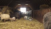 Cabras de bebê brincando em um celeiro