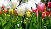 Lindas tulipas coloridas, movendo-se com o vento
