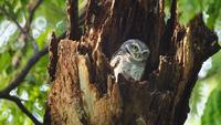 Búhos en un árbol hueco mirando con grandes ojos en Tailandia, 4K DCI