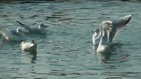 Una bandada de gaviotas nadando