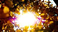 The bright sunlight through a tree's brown, yellow leaves