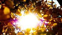 Das helle Sonnenlicht durch die braunen, gelben Blätter eines Baumes