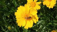 Eine Honigbiene, die den Nektar von einer Tidy Tip-Blume nippt