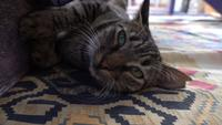 Gato deitado em um tapete em casa