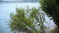 Eukalyptusbaum und Stadt