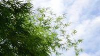O topo da árvore de bambu foi soprado pelo vento.