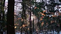 Le magnifique coucher de soleil à travers les arbres dans une forêt enneigée