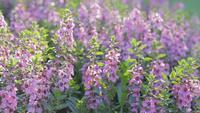 Flor púrpura de Angelonia en un jardín