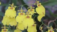 Oncidium Goldiana Orchideebloem in de tuin