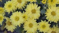 Flores amarelas em um jardim em um dia de primavera