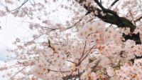 Lindas flores de Sakura.
