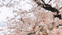 Hermosas flores de sakura.