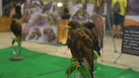 Falke sitzt auf der Stange im Einkaufszentrum