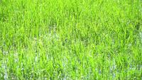 Water grass waving with reflective sun light