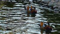Dos patos en un lago verde