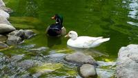 Olika ankor i en grön sjö i naturen