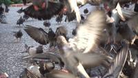 En flock av duvor som matar och flyger