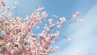 Cerejeira e céu de florescência