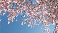 Bloeiende kersenboom tijdens de lente