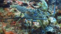 A Blue Lobster Walking on The Ocean Floor