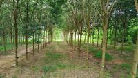 rubberbomen gewas
