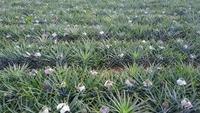 Vue de dessus sur la plantation d'ananas