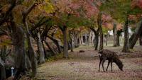 Parque Deer of Nara