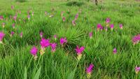 Campo de tulipanes de Siam. lapso de tiempo