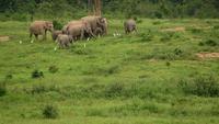Olifanten dieren in het wild