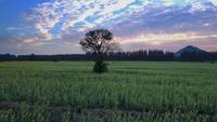 Rastreamento drone tiro de plantação de girassol na Tailândia