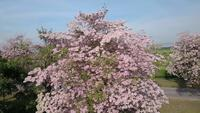 Árvore de trombeta-de-rosa ou Tabebuia rosea flor