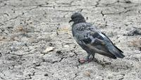 Pigeons Standing on The Cracking Ground