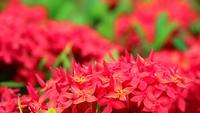 Flores rojas de Ixora y hojas verdes