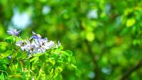 Lignum Vitae Blue-White Flowers and Bees