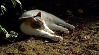 Chat nettoyant sa fourrure au ralenti