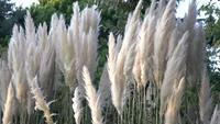 Pampas Grass eller Cortaderia Selloana i Slow-Motion