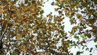 Plane Trees with Autumn Leaves