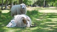 Mignon petit agneau reposant contre son père
